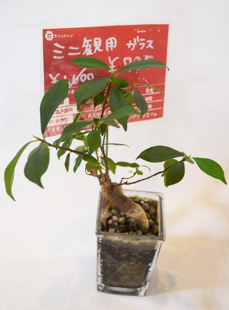 A-00052 ミニ観葉植物